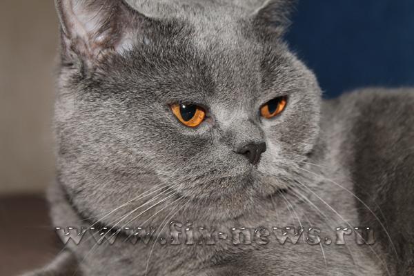 Кот британский плюшевый